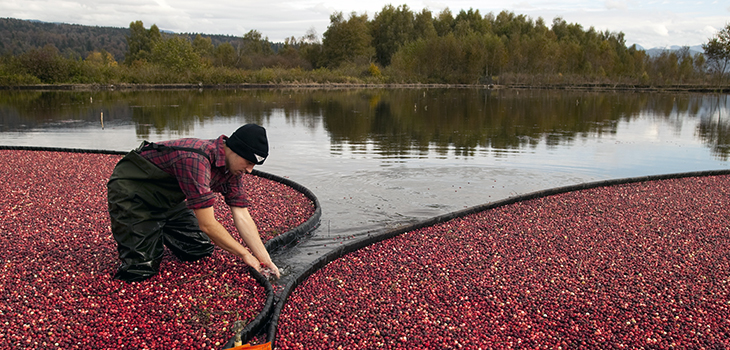 Photo of a cranberry harvest