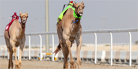 Photo of racing camels