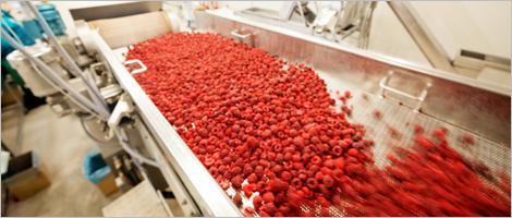 Photo de framboises rouges dans une trieuse industrielle