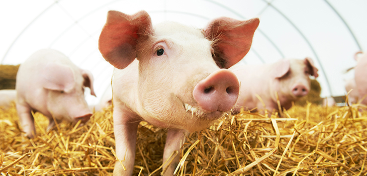 Photo of young piglet on hay and straw at pig breeding farm