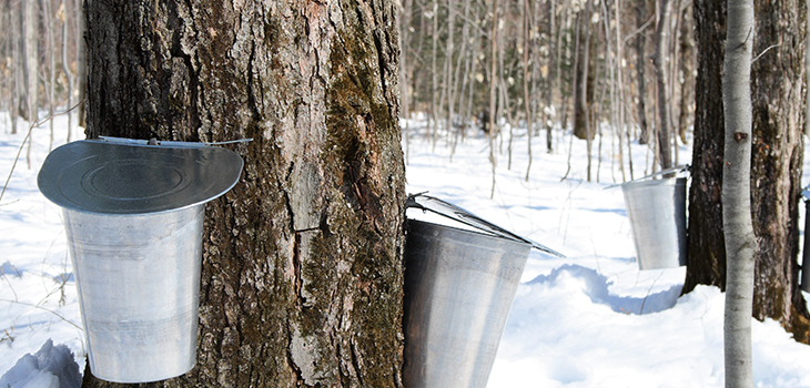 Photo of maple sap harvest